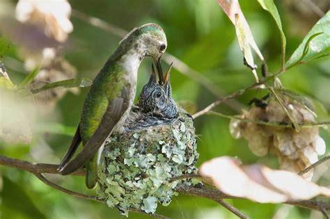 baby hummingbirds grow up so fast