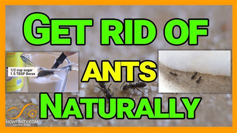 rid  ants naturally  borax youtube