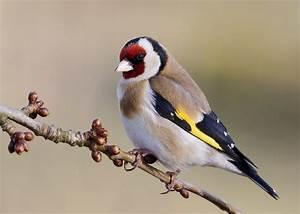 Kleine Vögel Im Garten : jura garten distelfink am futterhaus ~ Lizthompson.info Haus und Dekorationen
