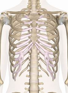 Bones Of The Chest And Upper Back
