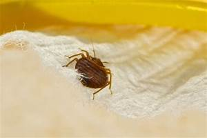 what smell does bed bugs hate most With bed bug smell