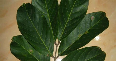 daun majemuk folium compositum munawi