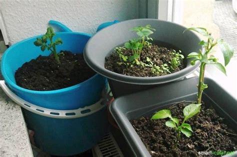 tomaten in der wohnung züchten kartoffeln im eimer anbauen so klappt es sogar in der wohnung balkon pflanzen kartoffeln
