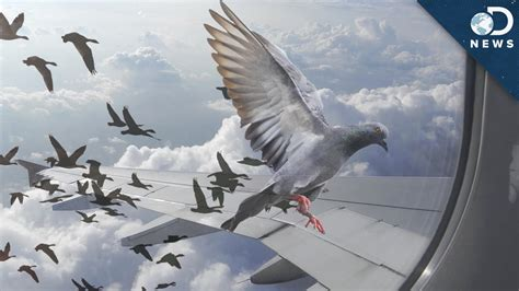 why birds can t stop flying into things youtube