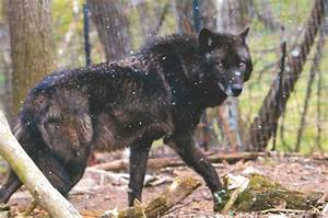 The gallery for --> Black Timber Wolf Puppies