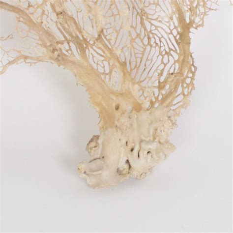 sea fans for sale sea fans with organic texture and sculptural form priced