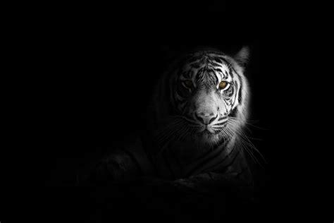 big cat tiger  hd animals  wallpapers images