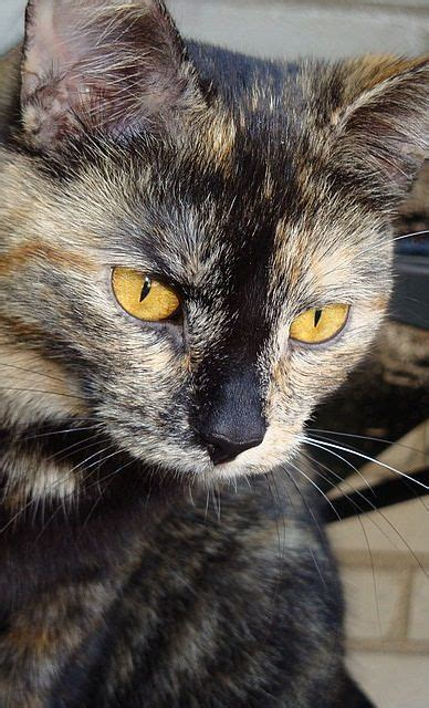 tortoiseshell cat cat breeds encyclopedia