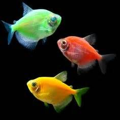 1000 images about Glofish on Pinterest