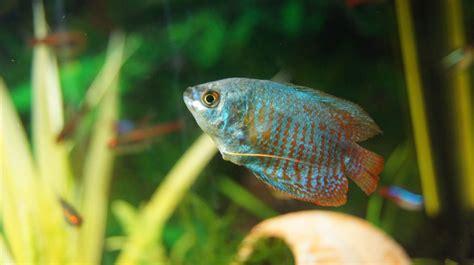 reproduction gourami et diff 233 rence m 226 le et femelle