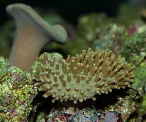 The gallery for --> Mushroom Leather Coral