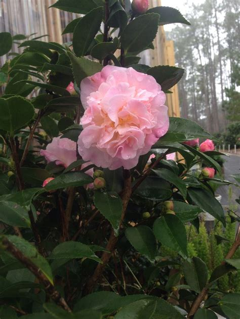 camellia florida 1000 images about camellia on pinterest gardens bobs and terry o quinn
