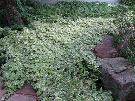 perrenial ground cover perennial groundcovers phelan gardens