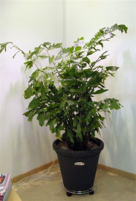 Pflanzen Die Im Dunkeln Leuchten by Welche Pflanzen Wachsen Im Dunkeln Pflanzenbestimmung
