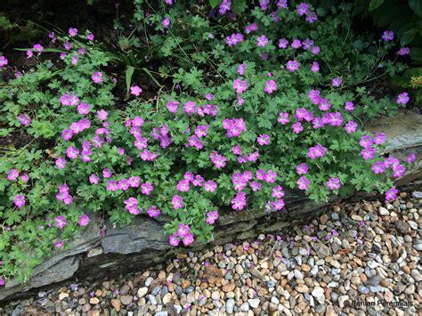 what are hardy perennial plants geranium mavis simpson penlan perennials nursery