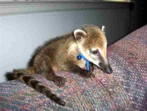 coatimundi pet kingsnake comphoto gallery gt wildlife exotic animals gt baby coatimundi