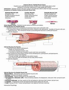 Anatomy Review Skeletal Muscle Tissue - Bio 3347