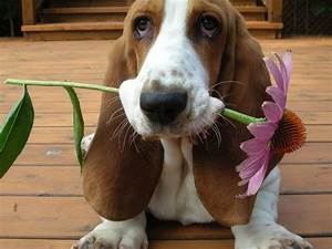 How Much Do You Know About Basset Hounds? – Quiz