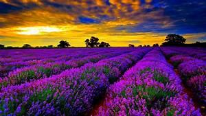 High, Resolution, Lavender, Fields, -, 1920x1080