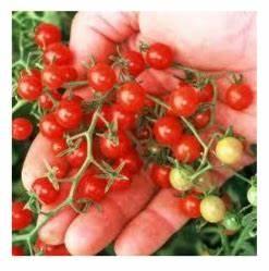 Bester Dünger Für Tomaten : die kleinsten tomaten der welt ~ Michelbontemps.com Haus und Dekorationen