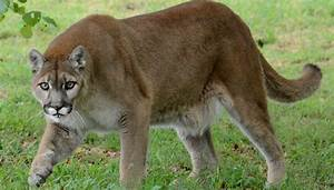 Runner chokes mountain lion to death | The Week UK