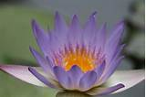 lotus Flowers, Nature, Flowers, Purple Flowers Wallpapers ...