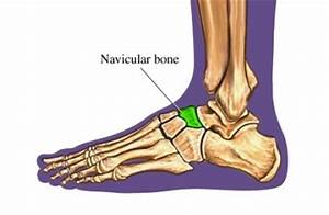 Navicular Bone - Location, Functions and Images
