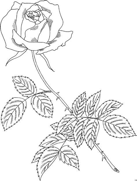 prophyta skizziert ausmalbild malvorlage blumen