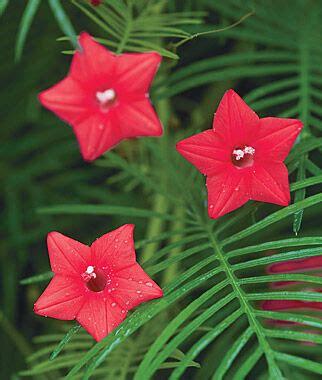 red cypress vine seeds  plants annual flower garden