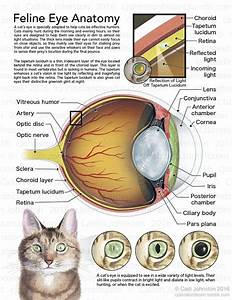 Scientific Illustration  U2014 Cjohnstonbioart  Feline Eye