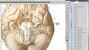 Anatomy Diagrams And Medical Illustrations