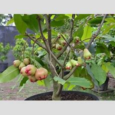 Rose Apple Bonsai Tree Youtube