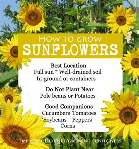 25 best ideas about growing sunflowers on growing sunflowers outdoors planting