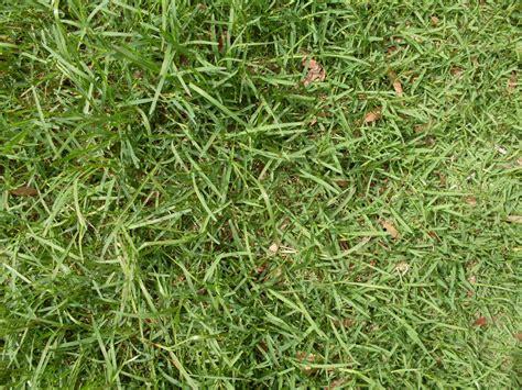 St Augustine Grass (stenotaphrum Secundatum)