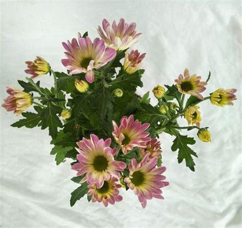 tanaman krisan aster melody pink bibitbungacom