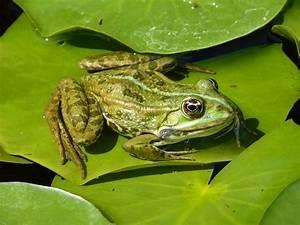 Frosch Bilder Lustig : kostenloses foto frosch gr n seerose blatt kostenloses bild auf pixabay 842621 ~ Whattoseeinmadrid.com Haus und Dekorationen