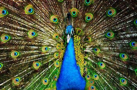 fascinating peacock photography  pics animals