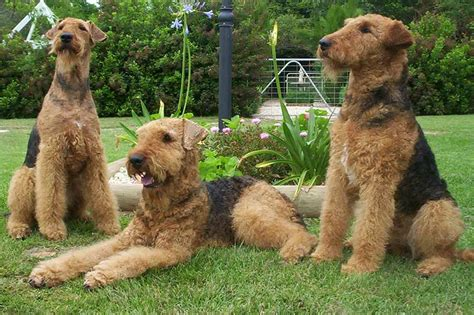 image gallery large terriers dogs