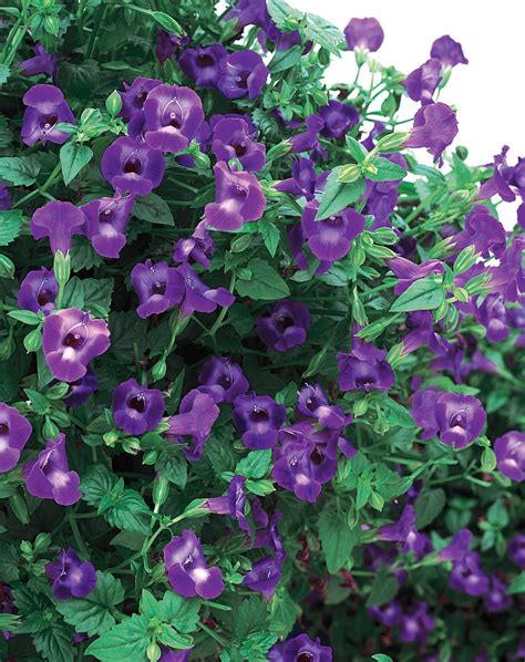 large summer flowers summer wave 174 large violet wishbone flower torenia hybrid proven winners