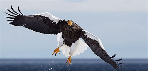 list  eagle species birdlife