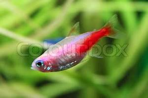 Beautiful small gold neon tetra freshwater fish in