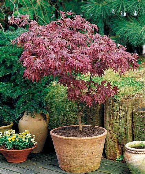 erable du japon en pot acer erable pourpre du japon arbuste d ornement jardin