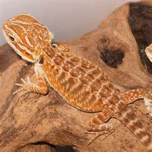 Bearded Heat L Distance by Leatherback Bearded Dragons Amazing