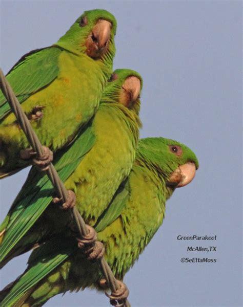 green parakeets wild wild birds birds and blooms