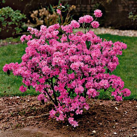 Japanischer Garten Sträucher by Winterbl 252 Hende Alpenrose Kaufen Bei Ahrens Sieberz