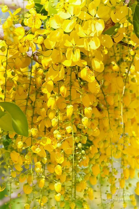 tree with yellow flowers 25 best ideas about yellow tree on pinterest
