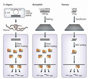 RNA interference (RNAi) screening - rnai-wiki - Signaling ...