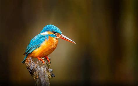 common kingfisher orange blue bird river bentota  sri