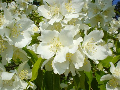 jasmine bush perfumes flowers flower file fragrance gorgeous ever commons fragrances most unusual floral teas frequently oils cosmetics essential wikimedia