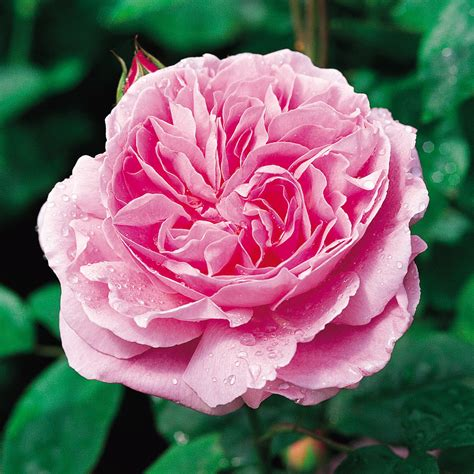 for roses mary rose repeat flowering popular searches